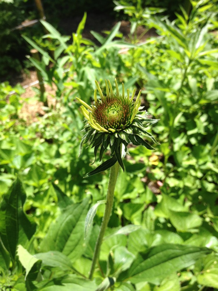 Echinacea-First-Flower-e1439398954149