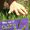 Oats! A very important herb for the nervous system!